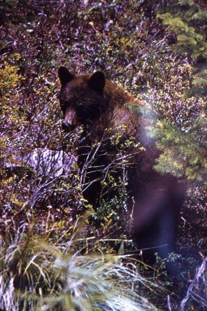 Black bear in forest undergrowth Picture