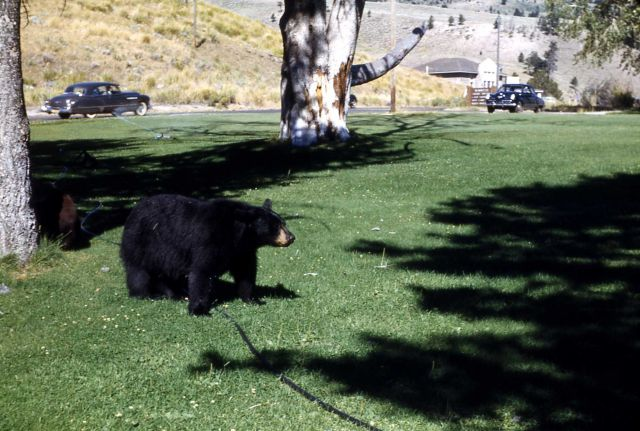 Two black bears in a yard near Mammoth Hot Springs chapel Picture