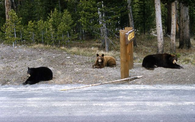 Three black bears near a sign Picture