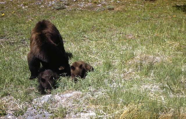 Black bear sow & cubs Picture