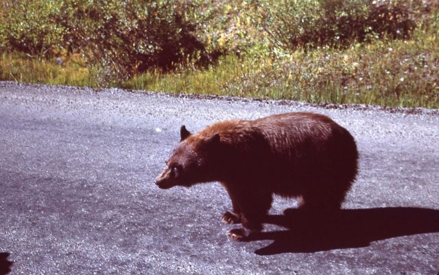 Black bear on Cooke City road Picture