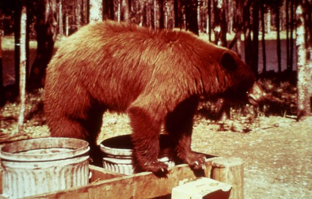 Black bear on top of trash can without lid Picture
