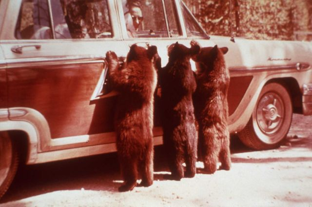 Three Black Bear cubs begging on car door Picture