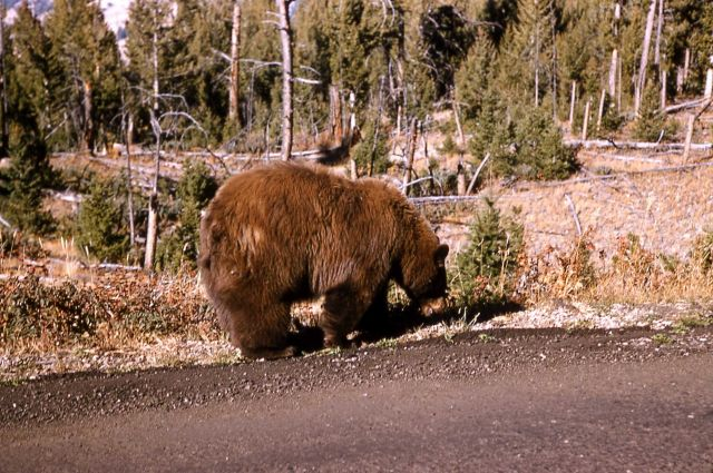 Black bear slong Canyon road Picture