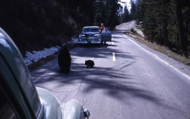 Black bear sow & cub on road with traffic near Tower Falls Picture