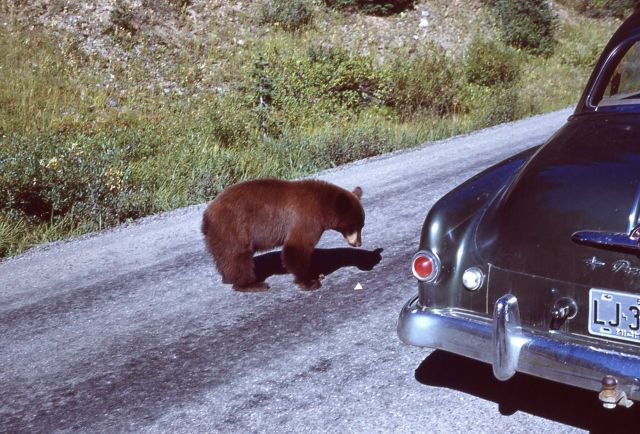 Black bear approaching car on Cooke City road Picture