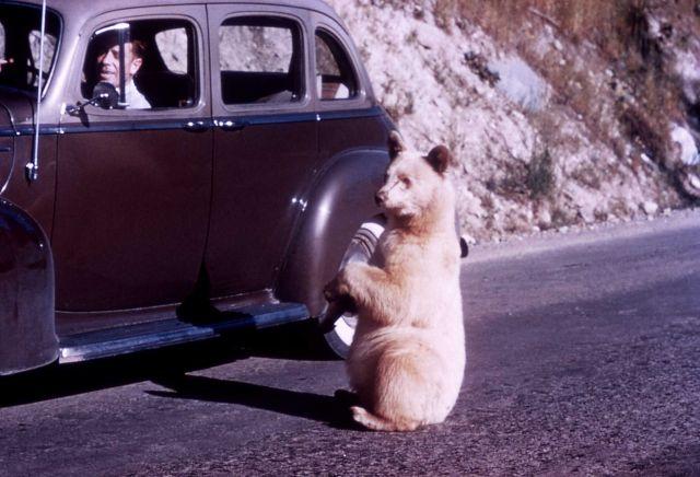 Albino black bear begging at car in Glacier National Park Picture
