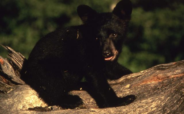Black bear cub on a log Picture