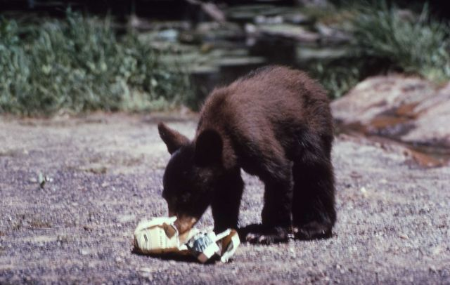 Black bear cub chewing on newspaper Picture