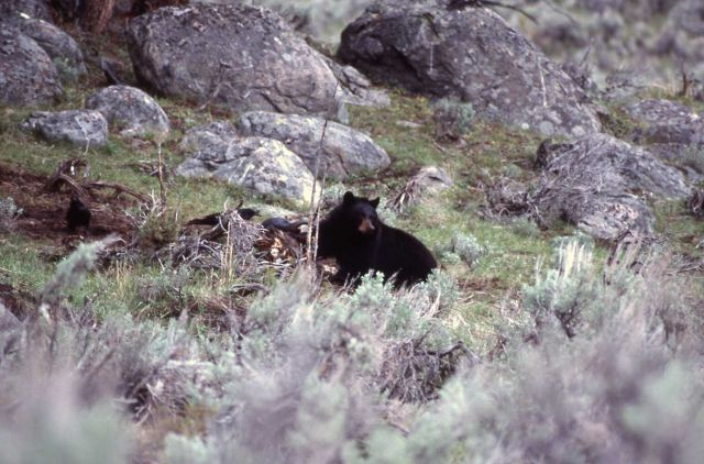Black bear on bison carcass near Junction Butte Picture