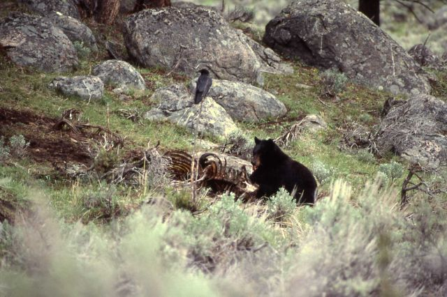 Black bear on bison carcass with raven on nearby rock near Junction Butte Picture