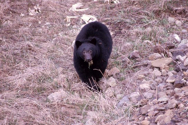 Black bear with mouth full of grass east of Phantom Lake Picture