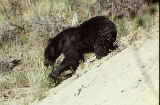 Black bear walking down a hill Picture