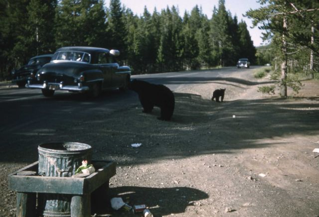 Black bear on roadside with garbage can in foreground Picture