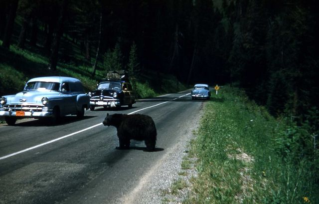 Black bear crossing road with cars Picture
