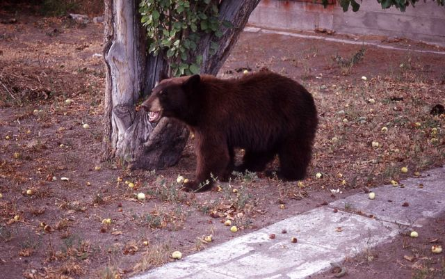 Black bear standing with mouth open under apple tree in Linda & Tom Tankersley's yard in Gardiner, Montana Picture
