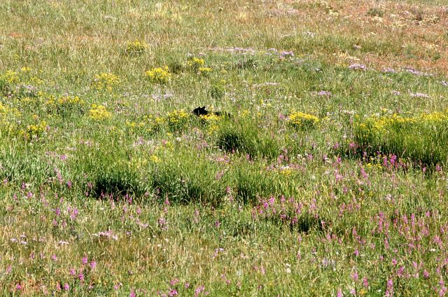 Black bear walking through grass off of Mammoth/Tower Road Picture