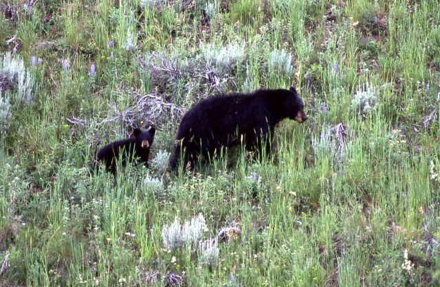 Black bear with cub near Pebble Creek Picture