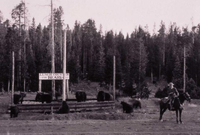Ranger Martindale at Old Faithful black bear feeding ground Picture
