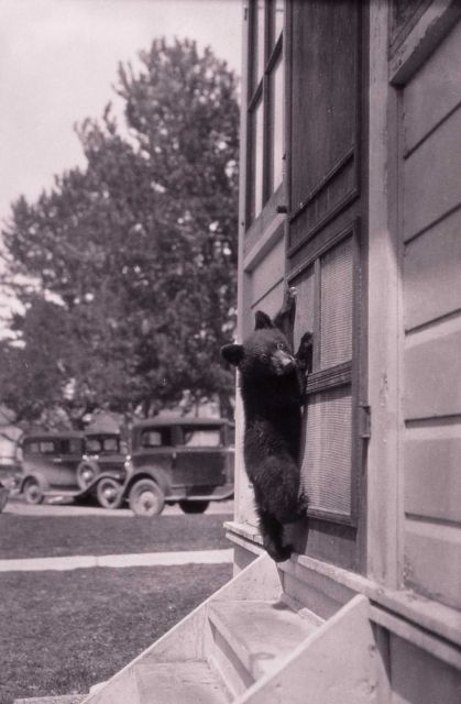 Barney the black bear cub on screen door - raised by chief naturalist Dorr Yeager Picture