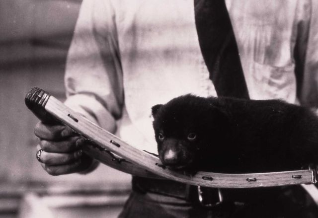 Barney the black bear cub on snowshoe - raised by chief naturalist Dorr Yeager Picture
