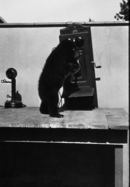 Barney the black bear cub at telephone - raised by chief naturalist Dorr Yeager Picture