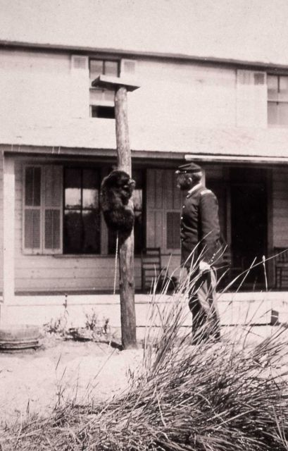 Captain George Anderson with a chained black bear on a pole at Mammoth Hot Springs Picture