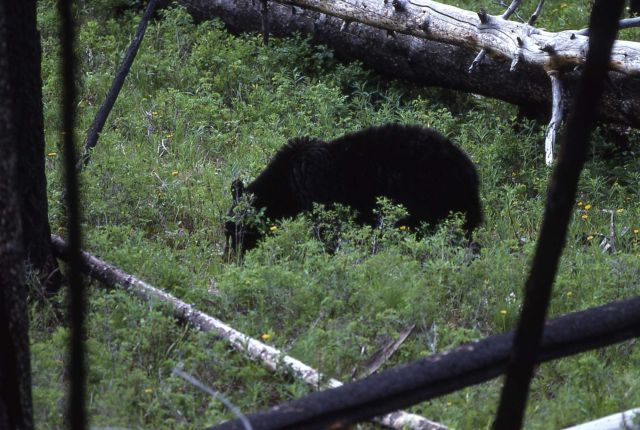 Black bear near Tower Picture