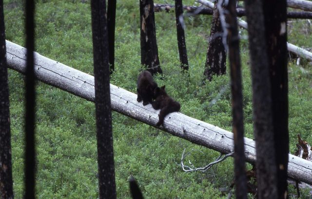 Two black bear cubs near Tower Picture
