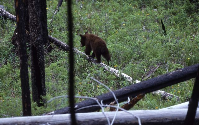 Black bear cub near Tower Picture