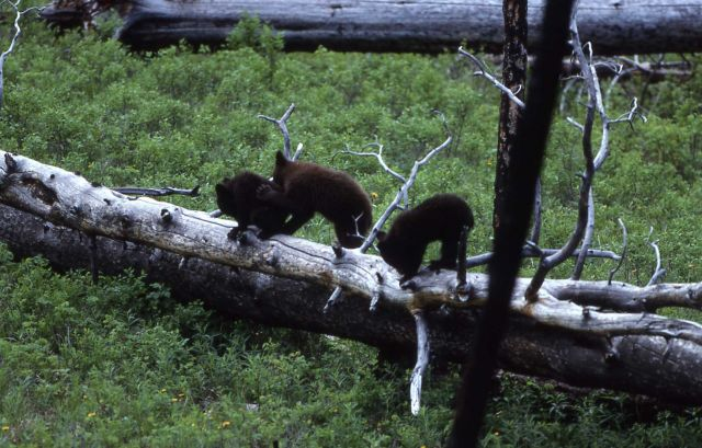 Three black bear cubs near Tower Picture