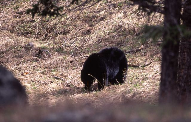 Black bear eating grass Picture