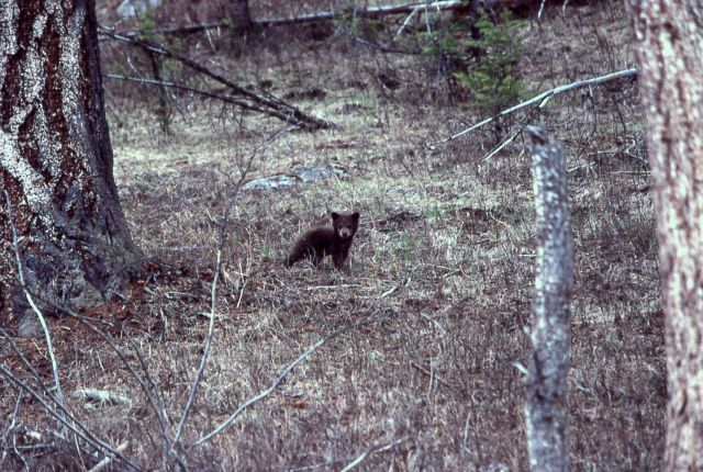 Black bear cub near Rainy Lake Picture