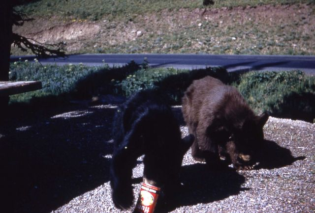 Black bear cubs in Yellowstone picnic area Picture
