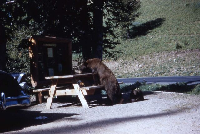 Black bears in Yellowstone picnic area Picture