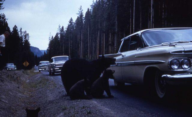 Black bears on roadside at passenger side of car Picture