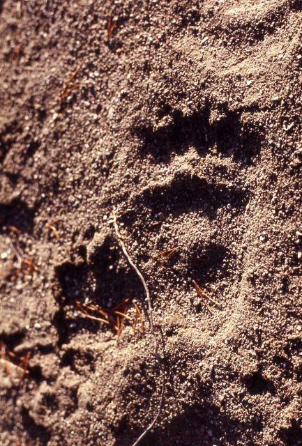 Black bear paw prints Picture