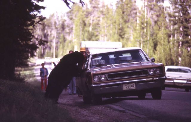 Black bear fed from a car Picture