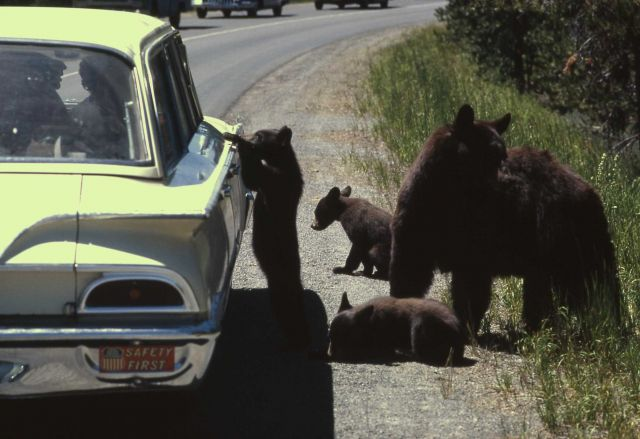 Roadside black bears Picture