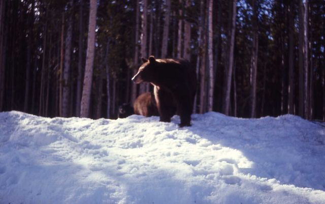 Roadside black bears on snowbank Picture