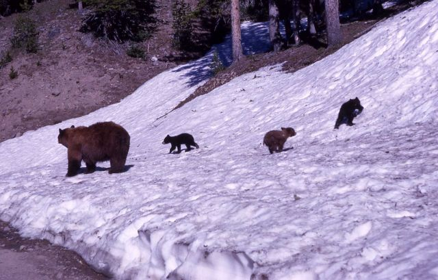 Black bear & cubs on snowy river bank Picture