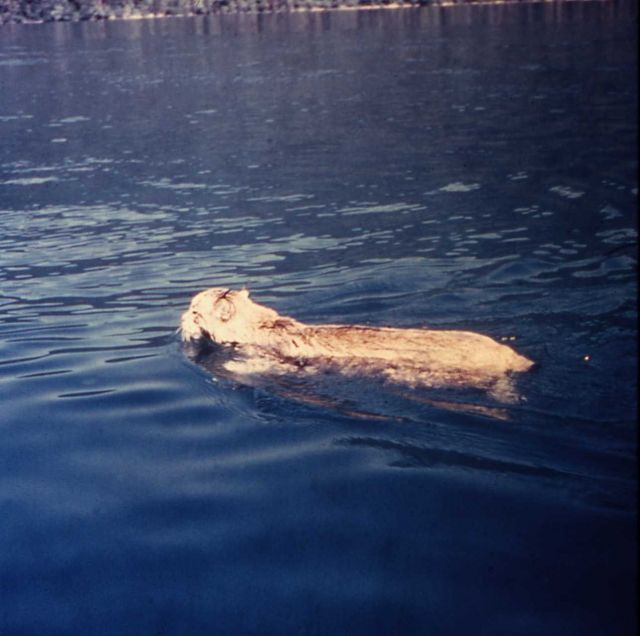 Lynx swimming in lake in Glacier National Park Picture