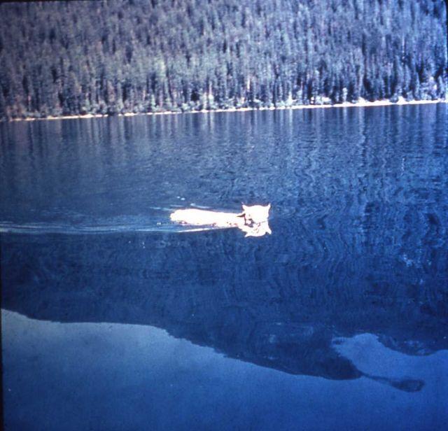 Lynx swimming in lake in Glacier National Park Picture