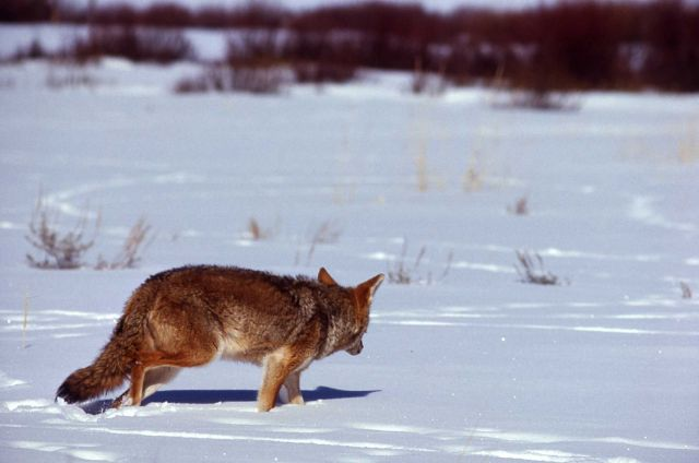 Coyote in snow Picture