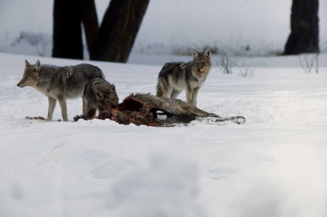 Coyote on elk carcass Picture