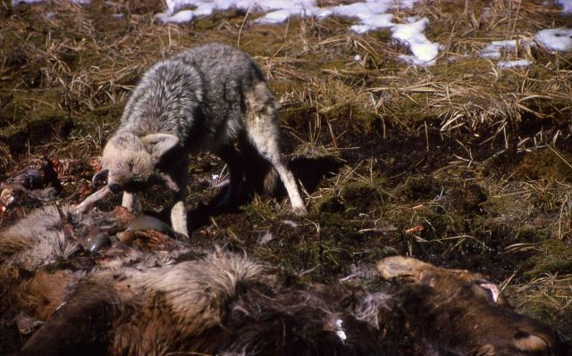 Coyote on elk carcass near Obsidian Cliff Picture