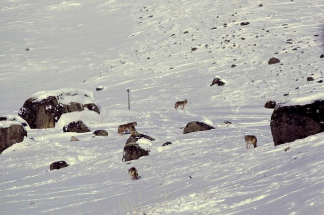 Coyote pack in snow Picture