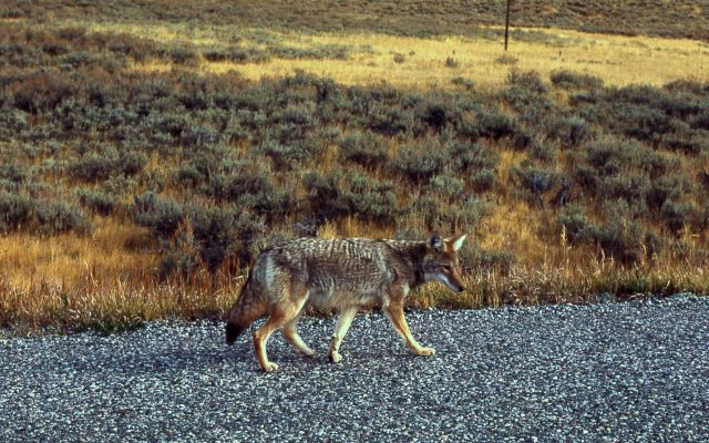 Roadside coyote Picture