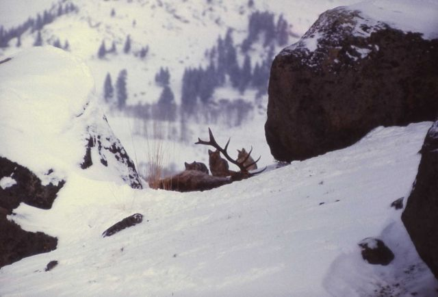 Coyote on elk carcass in winter Picture