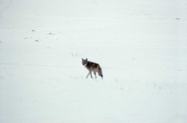 Coyote in winter Picture